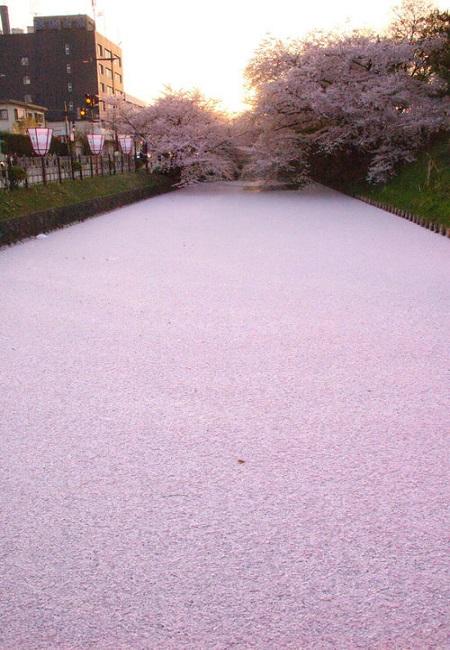 まさに櫻のじゅうたん~