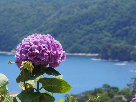 紫陽花とうみー