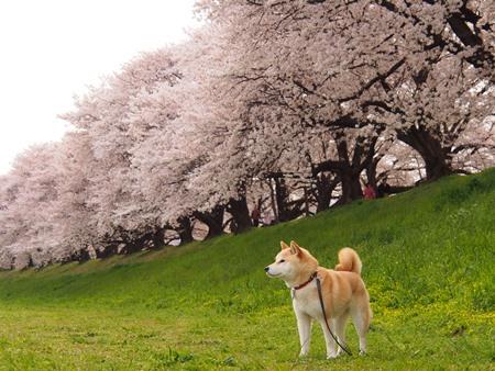 桜とさくら