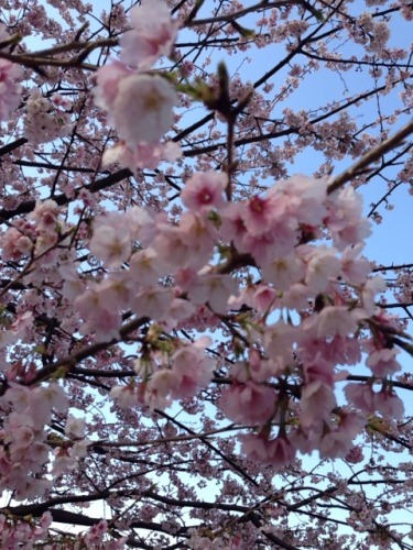 Sakura_20140401110939df5.jpg