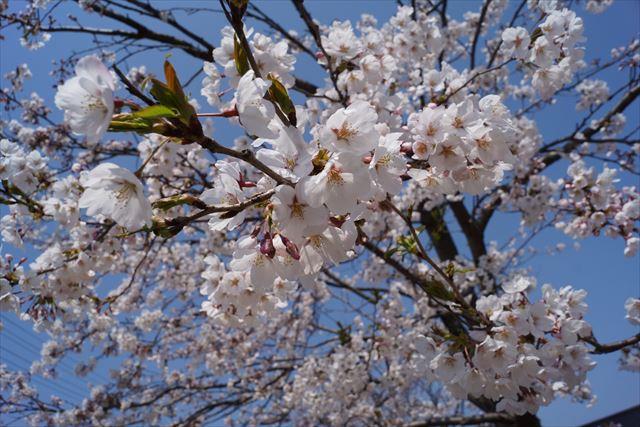柏崎桜(昼)1