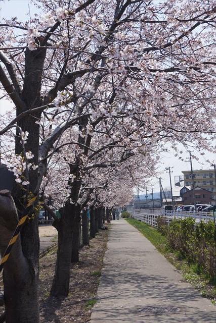 柏崎桜(昼)2