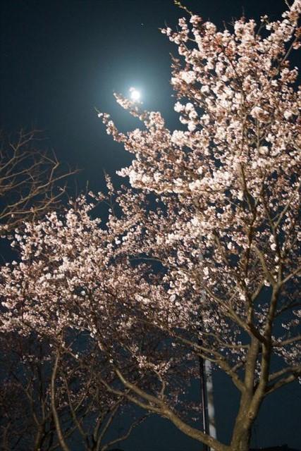 柏崎桜(夜)1