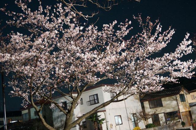 柏崎桜(夜)2