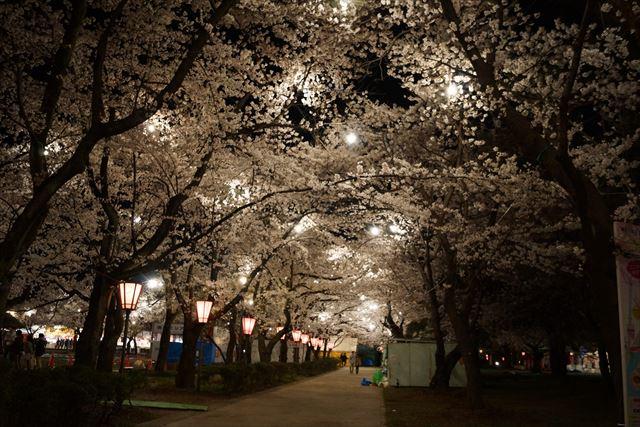 高田桜10