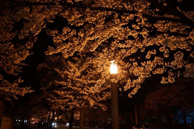 高田桜12