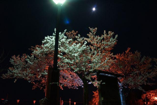 高田桜14