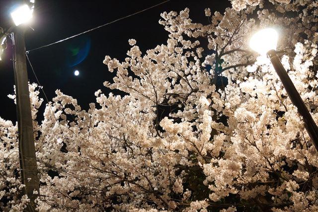 高田桜15