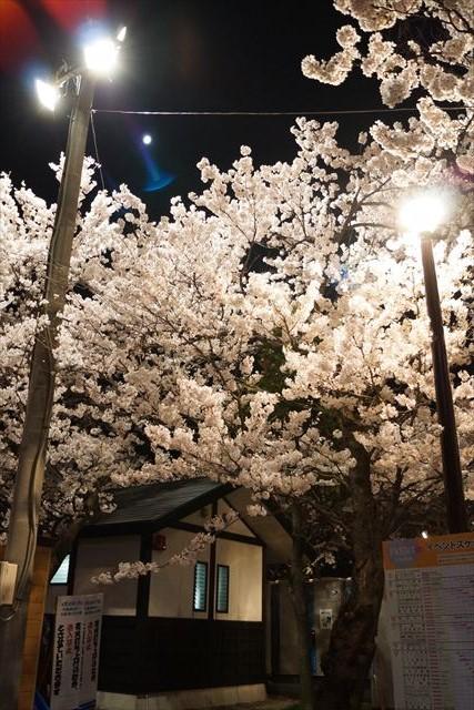 高田桜16