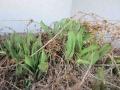 チューリップの葉