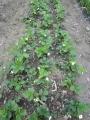 イチゴ花いっぱい