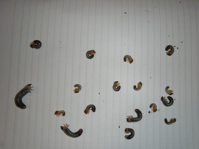 コーカサス 幼虫集合