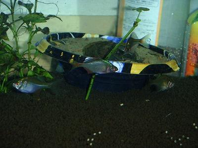 260616タナゴの稚魚と親 (9)