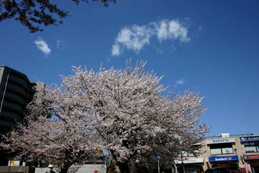 IMG_9608sakura4.jpg