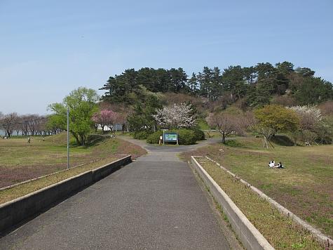 130405 青島の桜と菜の花_005