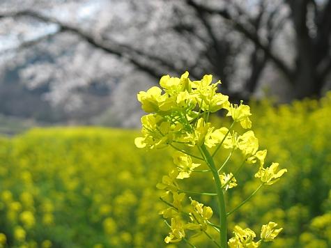 130405 青島の桜と菜の花_011