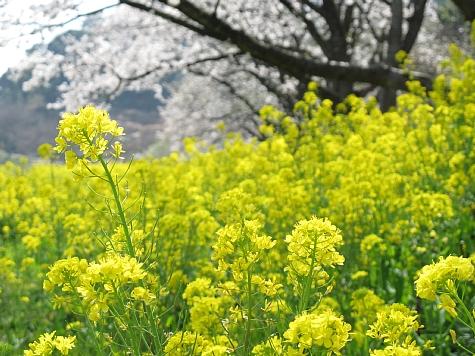 130405 青島の桜と菜の花_012