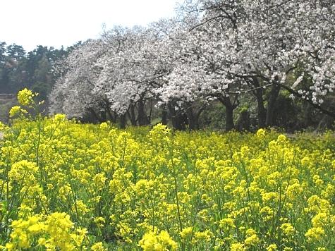 130405 青島の桜と菜の花_0131
