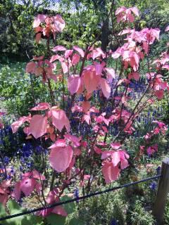 ピンクの葉