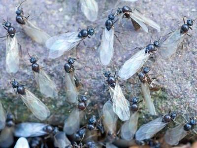 flying ants 1