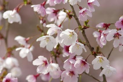 豆桜_1~1
