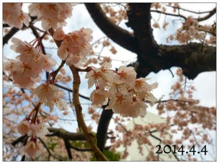 新川緑地公園のシダレザクラ0404