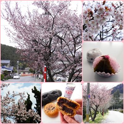 国宝白水阿弥陀堂 彼岸桜