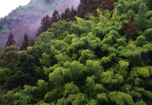 愛媛県鬼北町の竹林