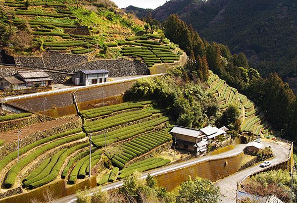高知県布施ヶ坂の茶畑