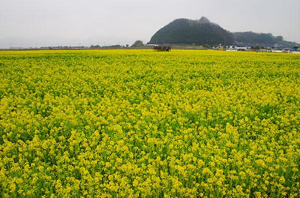 笠岡干拓地の菜の花畠