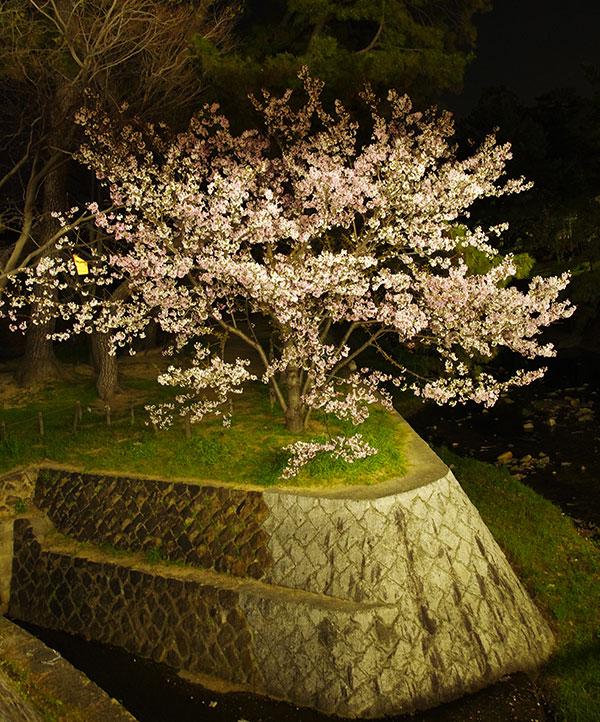 夙川の夜桜