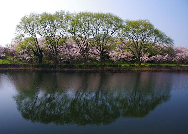 米子空港付近の桜