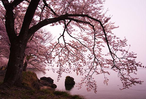 海津大崎の桜と琵琶湖