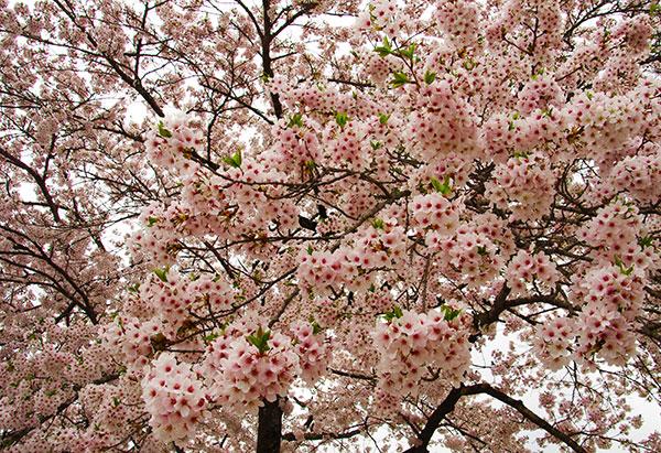 花つきの良い桜