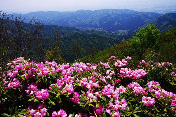 富士写ヶ岳のシャクナゲ