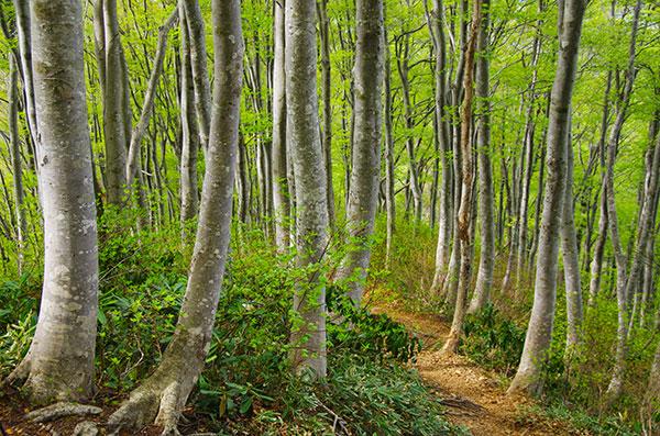 富士写ヶ岳のブナの美林