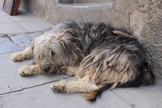 ボリビア・ペルー旅行:ラパス旧市街 サガルナガ通り 犬