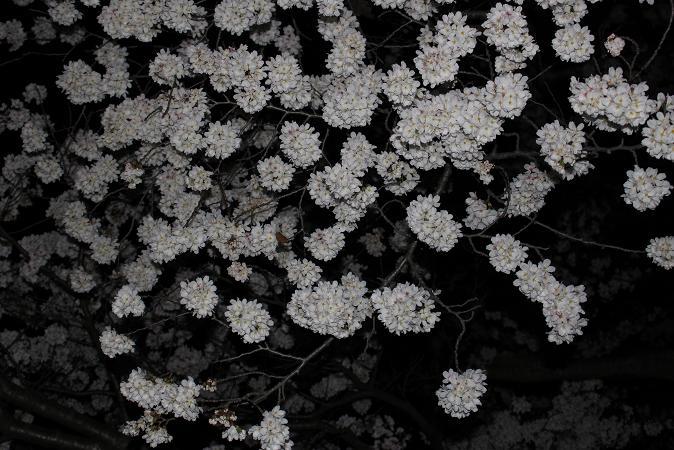 2014お花見:ソメイヨシノ アップ2