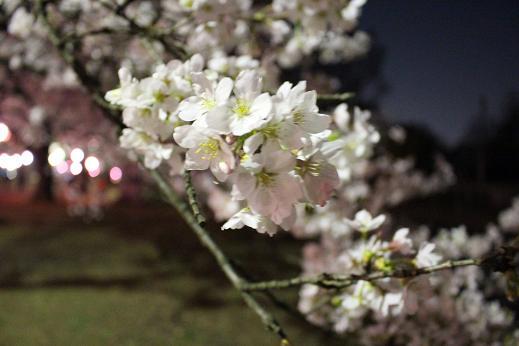 2014お花見:ソメイヨシノ どアップ