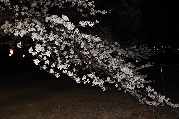 2014お花見:ソメイヨシノ 地面