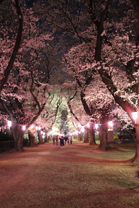 2014お花見:ソメイヨシノ ライトアップ