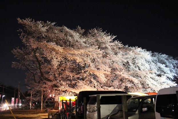 2014お花見:駐車場 ソメイヨシノ