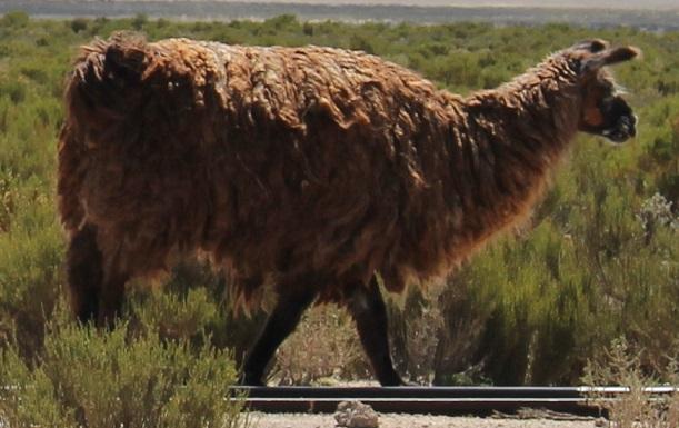 ボリビア・ペルー旅行:アルパカ 野生 拡大