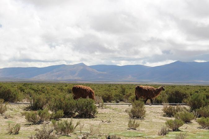 ボリビア・ペルー旅行:野生 アルパカ