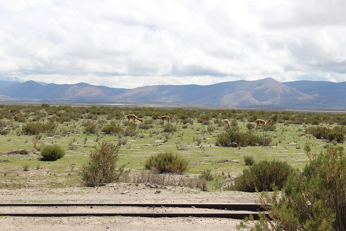 ボリビア・ペルー旅行:野生 リャマ