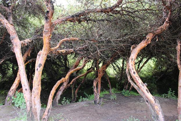 ボリビア・ペルー旅行:クスコ タンボマチャイ 木