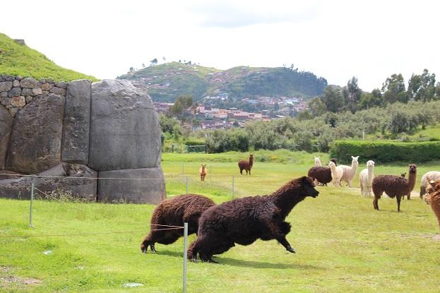 ボリビア・ペルー旅行:クスコ サクサイワマン アルパカ ケンカ2