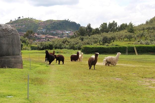 ボリビア・ペルー旅行:クスコ サクサイワマン アルパカ ケンカ