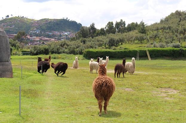 ボリビア・ペルー旅行:クスコ サクサイワマン アルパカ ケンカ3