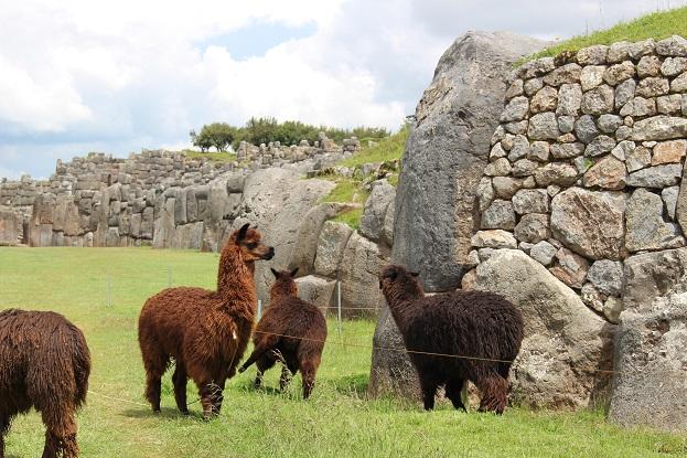 ボリビア・ペルー旅行:クスコ サクサイワマン アルパカ ケンカ4